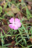 Dianthus fischeri