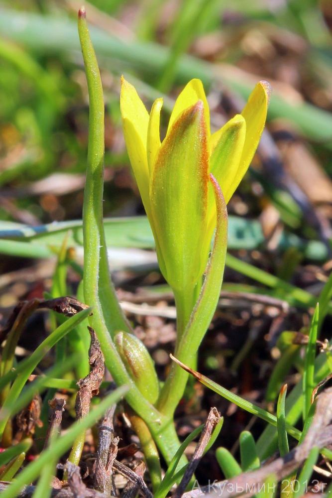 Гусиный лук низкий (Gagea pusilla)