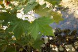 Platanus × acerifolia
