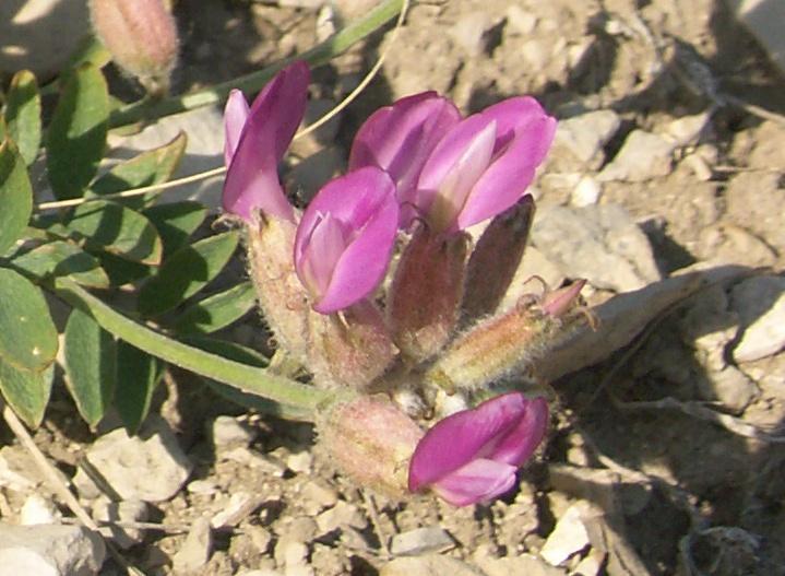 Изображение растения Astragalus medius.