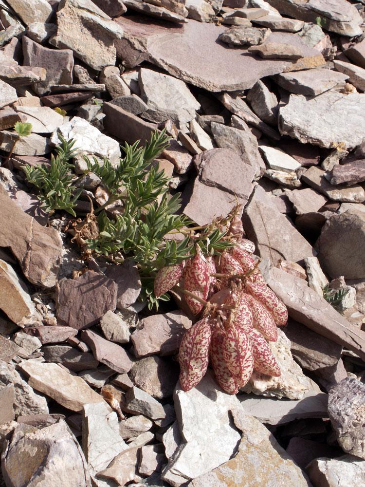 Изображение растения Astragalus beketowii.