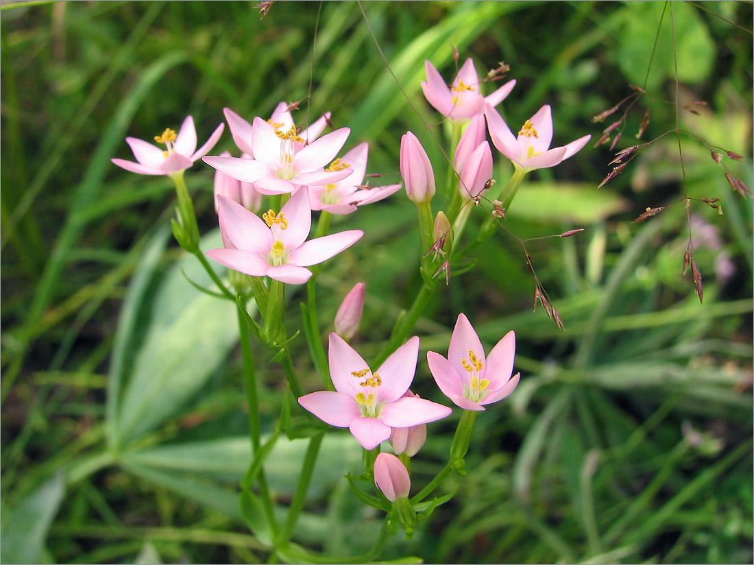 Золототысячник обыкновенный (Centaurium erythraea). Автор фото:Мария Новикова