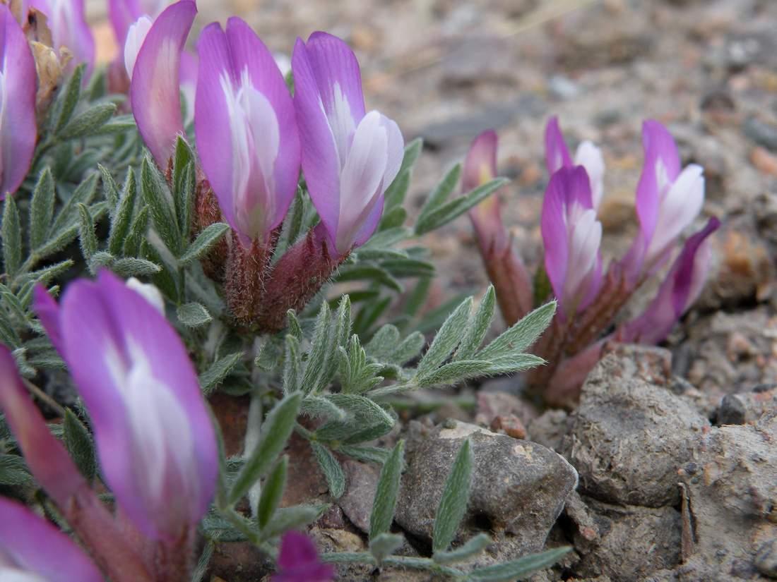 Изображение растения Astragalus arcuatus.