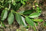 Salix myrsinifolia