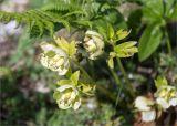 Helleborus caucasicus