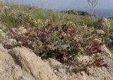 Anchusa hybrida