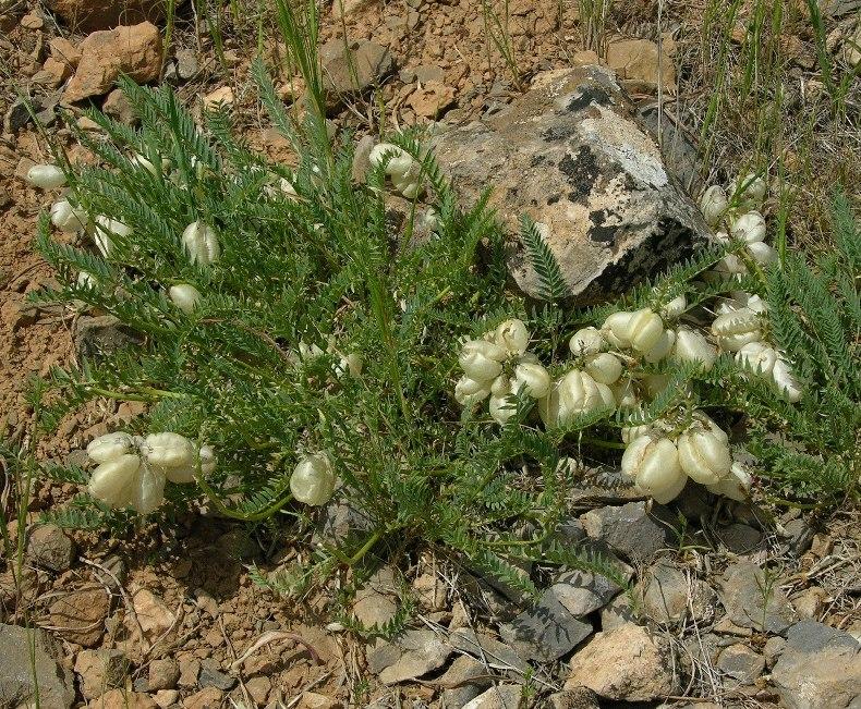 Изображение растения Astragalus kurdaicus.