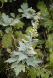Artemisia koidzumii