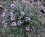 Thymus talijevii