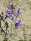 Linaria transiliensis