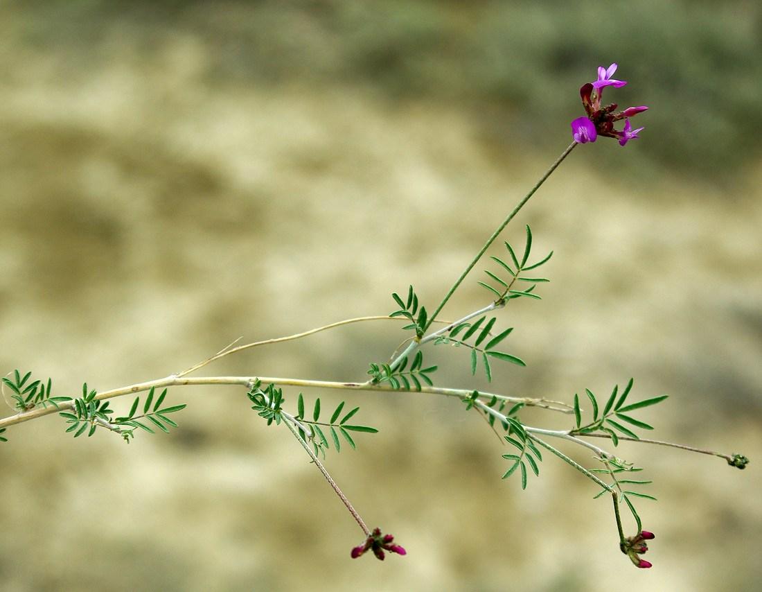 Изображение растения Astragalus temirensis.