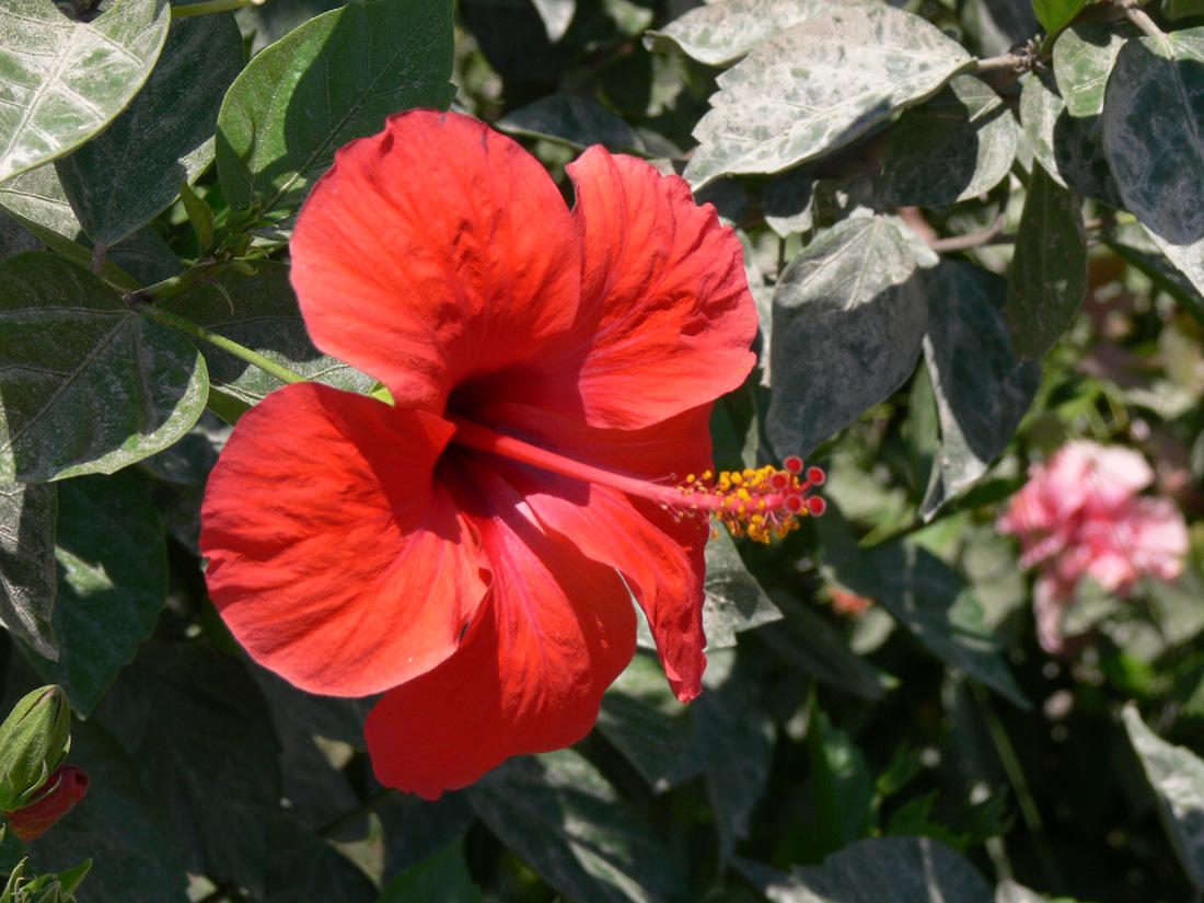 Китайская роза китайский розан