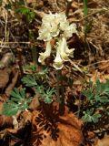 Corydalis magadanica