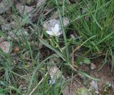 Ornithogalum schmalhausenii