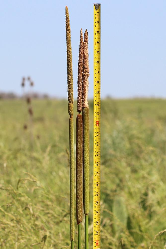 Рогоз сизый (Typha × glauca)