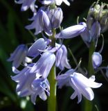 род Hyacinthoides