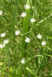 Stellaria palustris