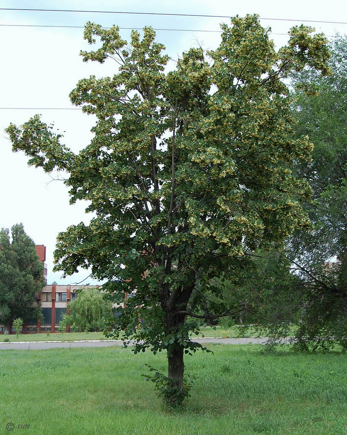 георгиевна принципиально фото всех деревьев растущих в костроме время
