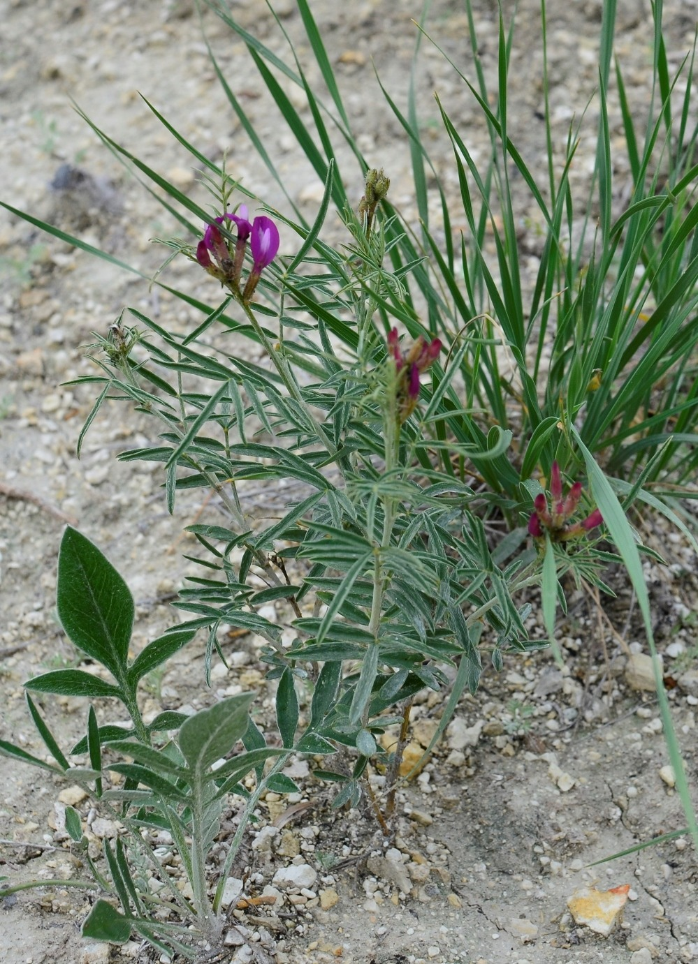 Изображение растения Astragalus aktiubensis.