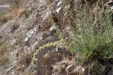Salsola montana