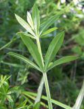 Galium pseudorivale