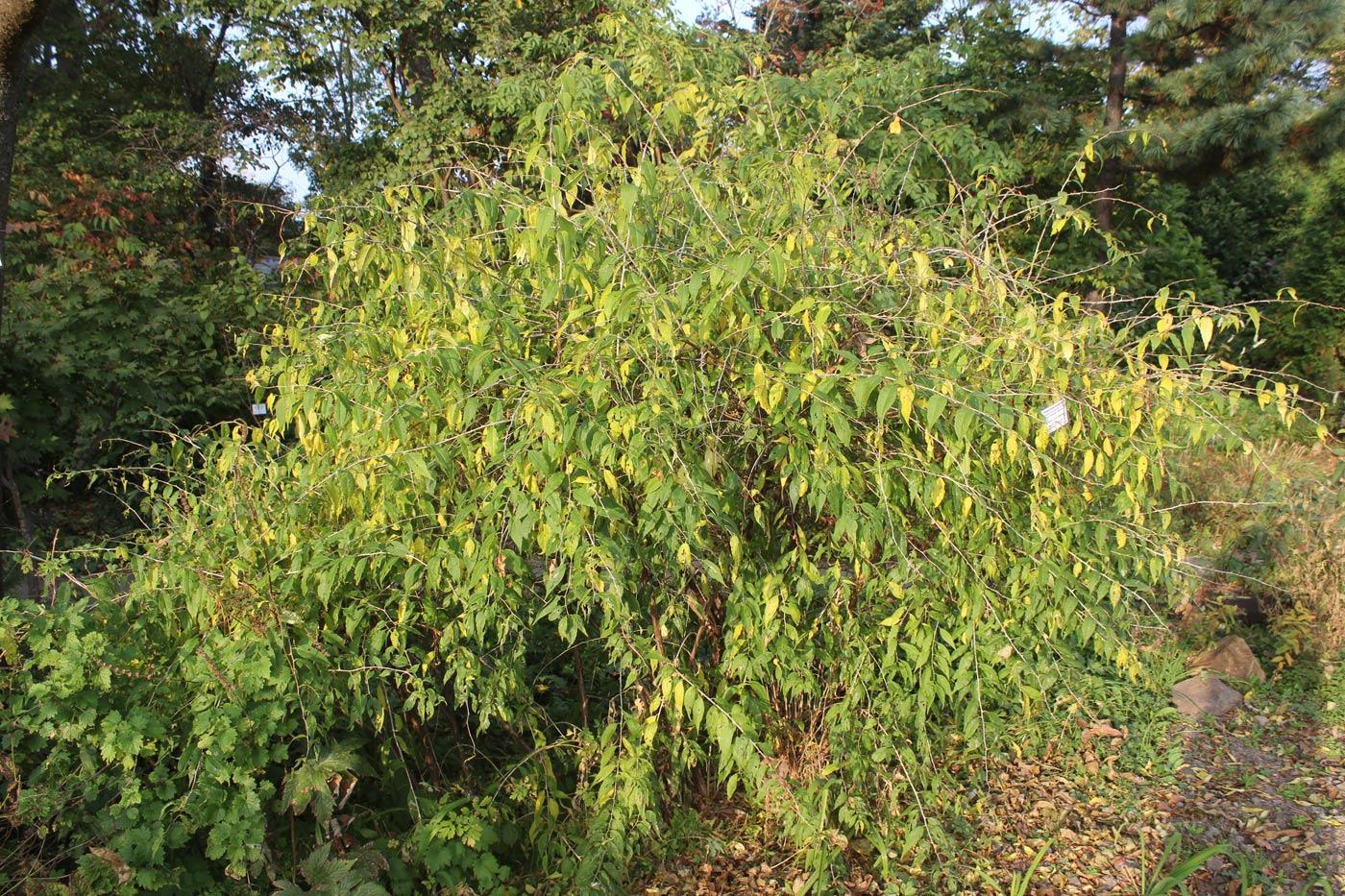 Принсепия китайская выращивание из семян 58