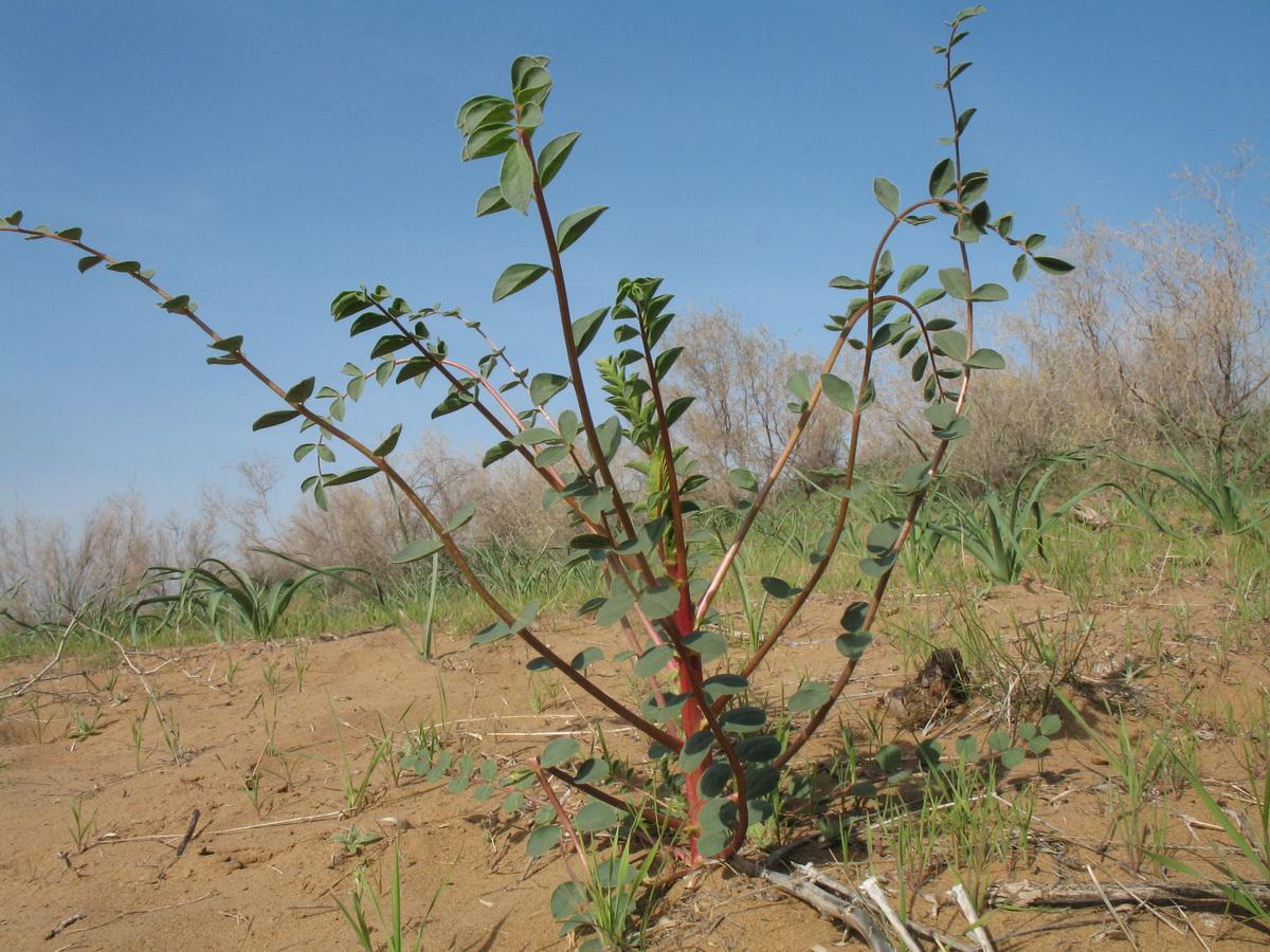 Изображение растения Astragalus leiophysa.