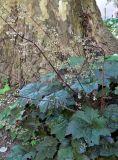 Heuchera micrantha