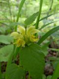Galeobdolon caucasicum