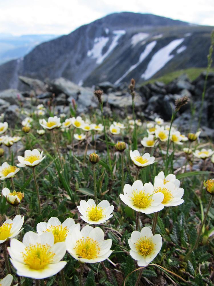 растения уральских гор фото