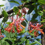 Lonicera × brownii