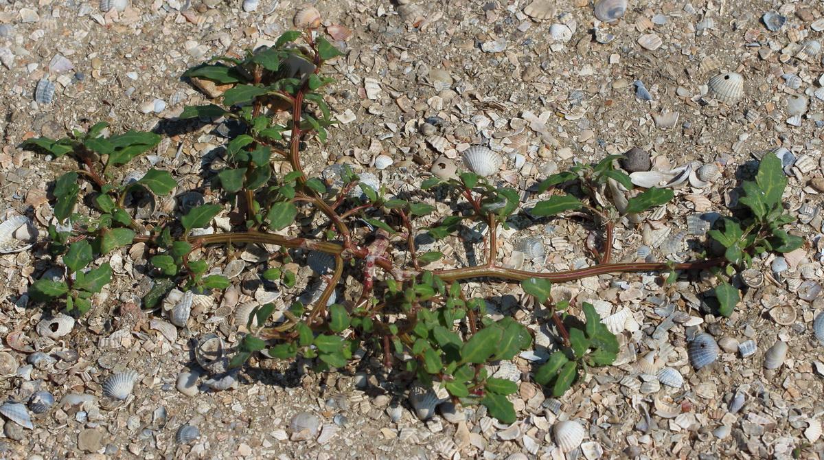 Марь сизая (Oxybasis glauca)