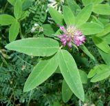 Trifolium medium