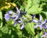 Swertia obtusa