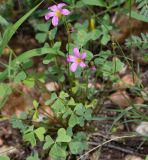 Oxalis purpurascens
