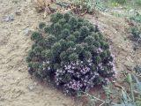 Acanthophyllum