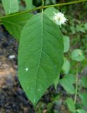 Cephalanthus occidentalis