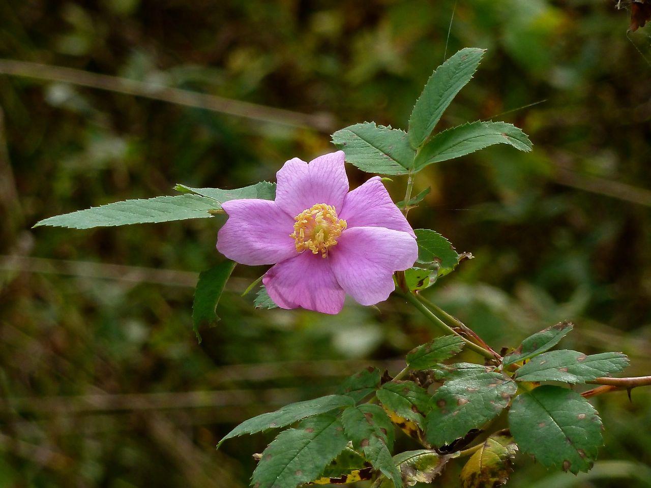 Шиповник луговой (Rosa pratorum). Автор фото:Сергей Апполонов