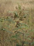 Glycyrrhiza soongorica