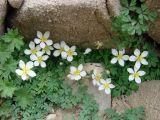 Paropyrum anemonoides