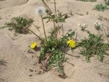 Taraxacum longicorne