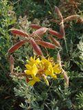 Calophaca wolgarica