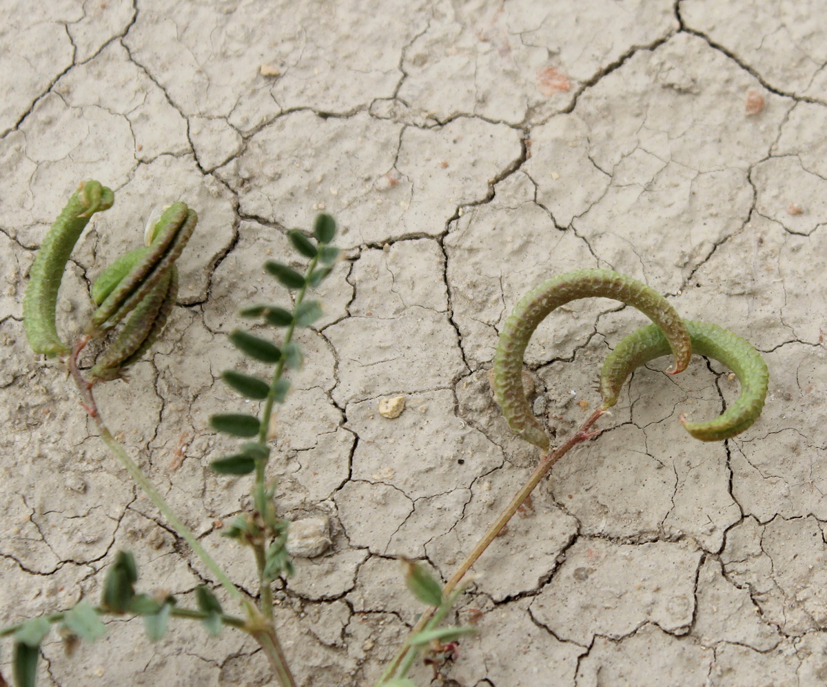 Изображение растения Astragalus corrugatus.