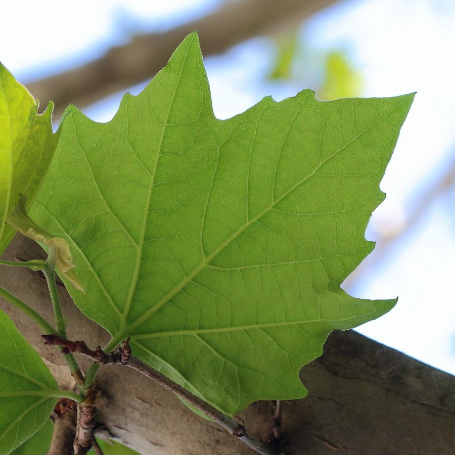 Платан клёнолистный (Platanus × acerifolia)