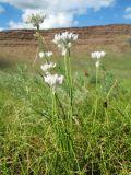 Allium parvulum
