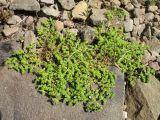 Herniaria caucasica