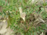 Astragalus striatellus