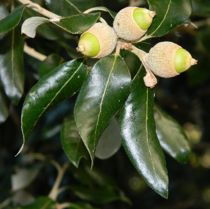 Изображение особи Quercus ilex.