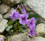 Viola somchetica