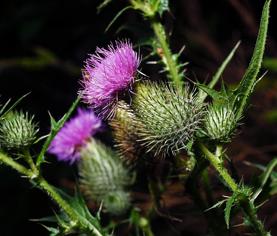 Бодяк обыкновенный (Cirsium vulgare) Автор фото: Виталий Гуменюк